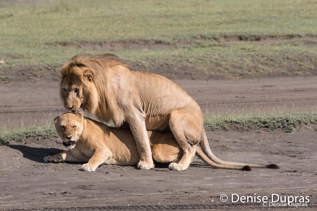 Lion7226