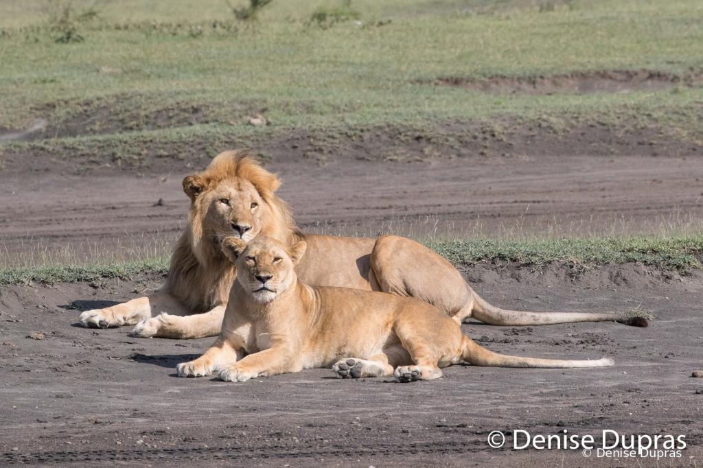 Lion7151