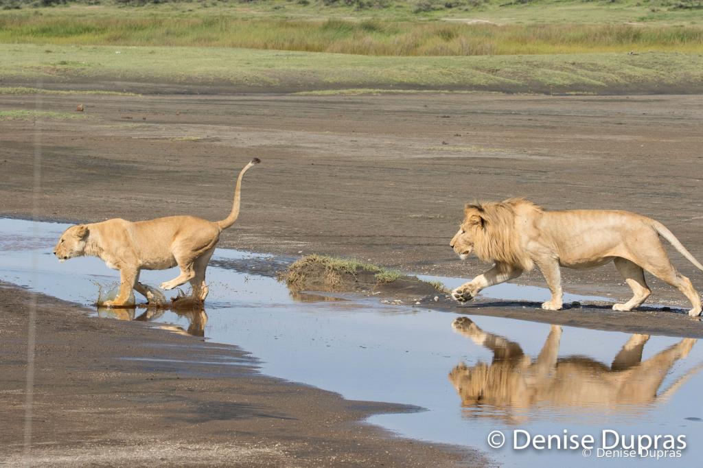 Lion7244