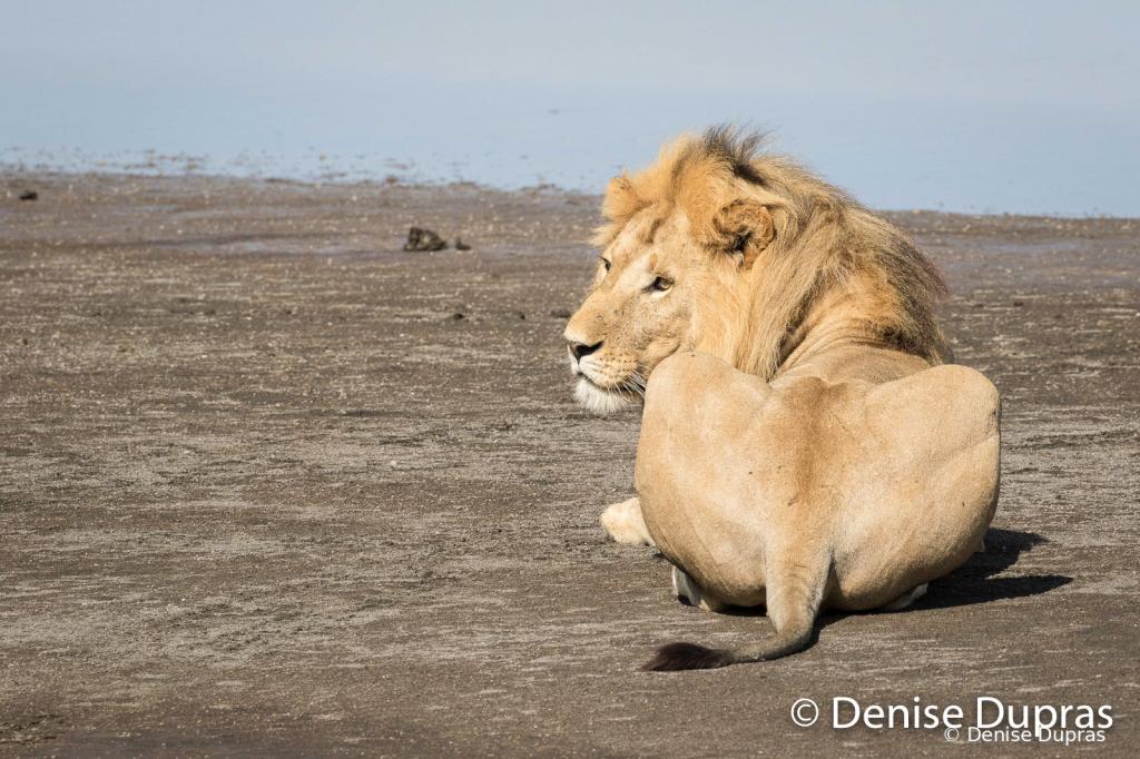 Lion7269