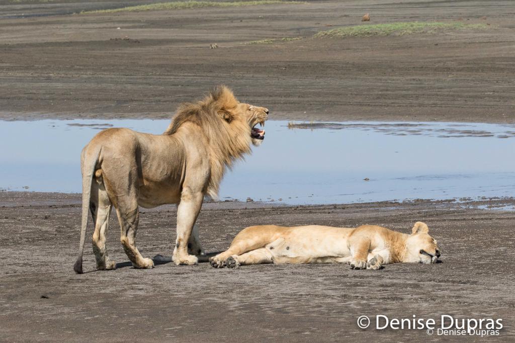 Lion7308