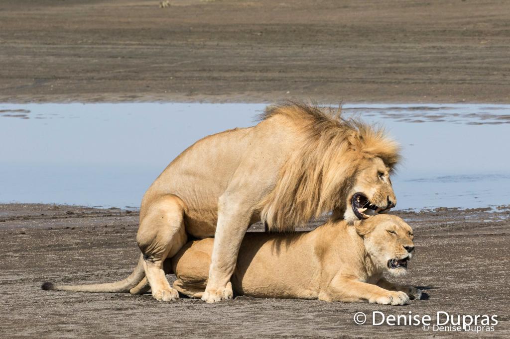 Lion7365