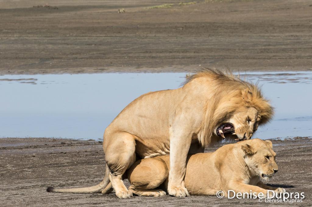 Lion7346