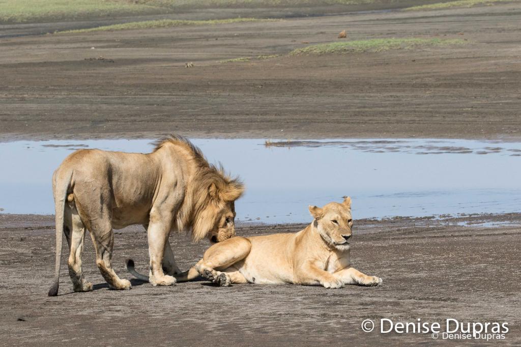 Lion7318