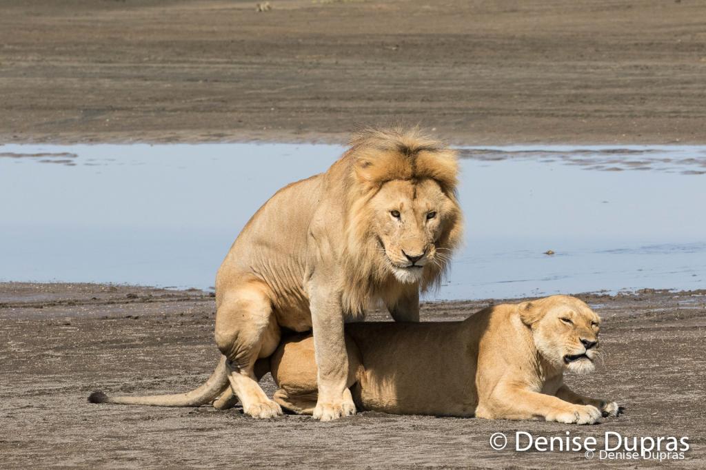Lion7367