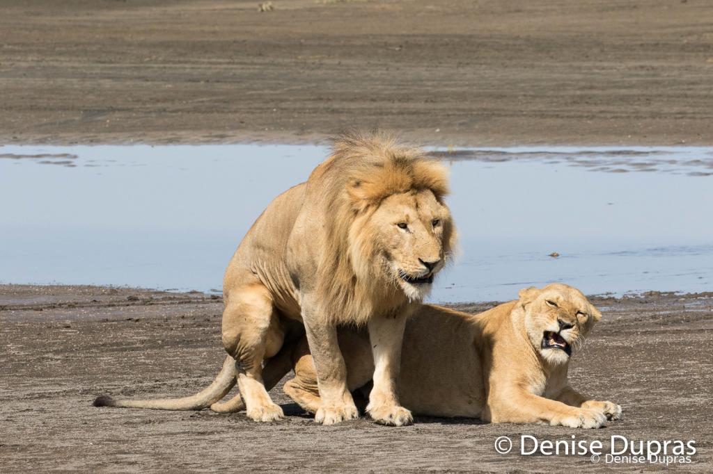 Lion7368