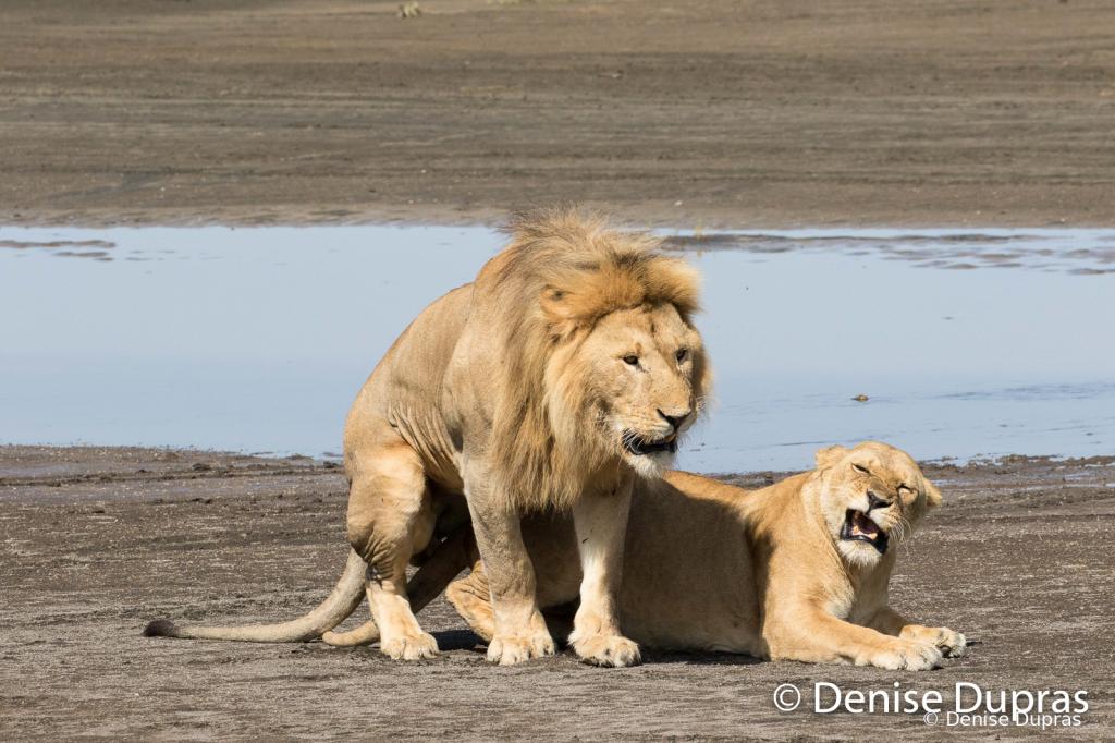 Lion7369