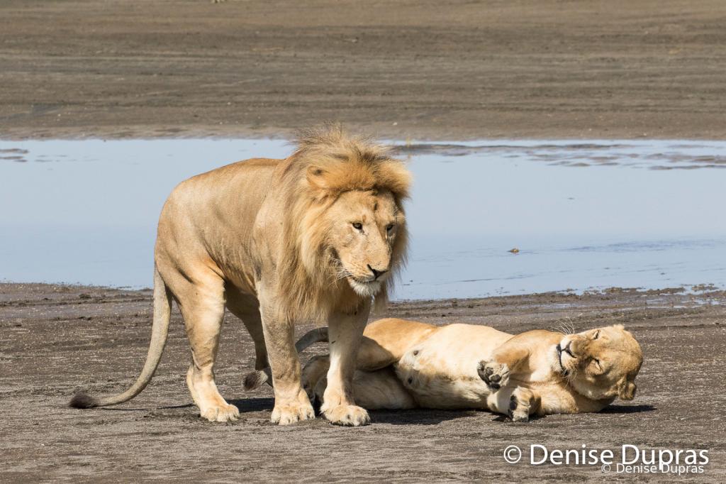Lion7370