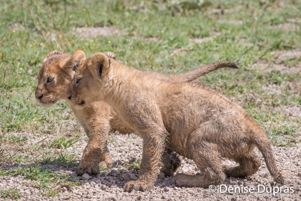 Lion7613
