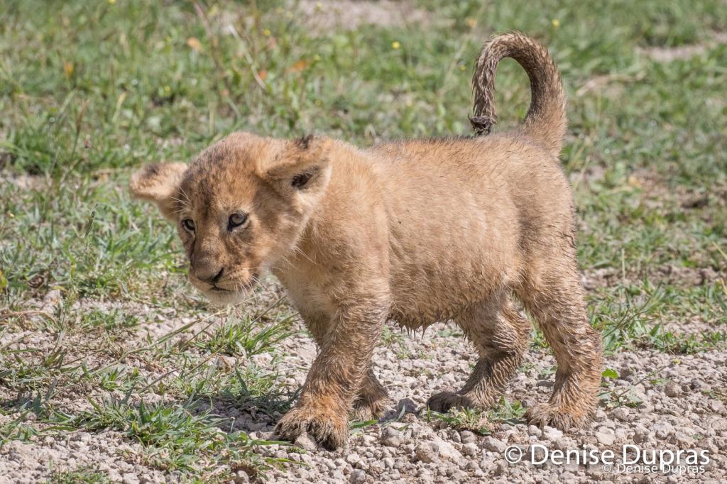 Lion7616