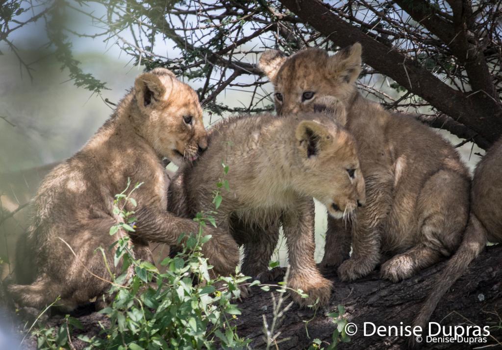 Lion7649