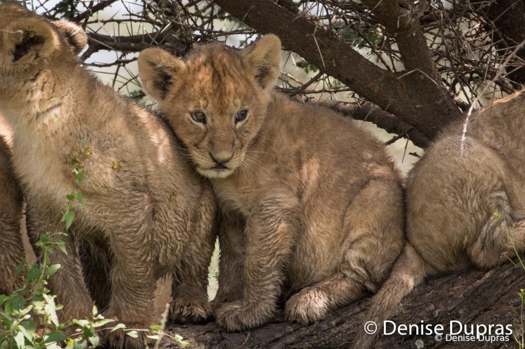 Lion7654