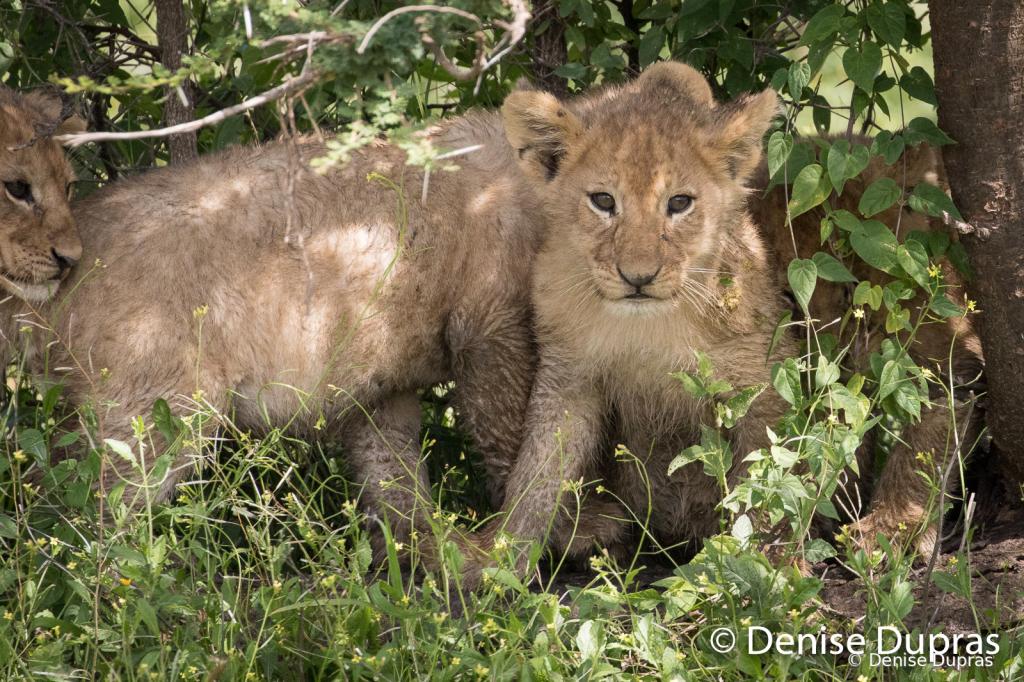 Lion7827