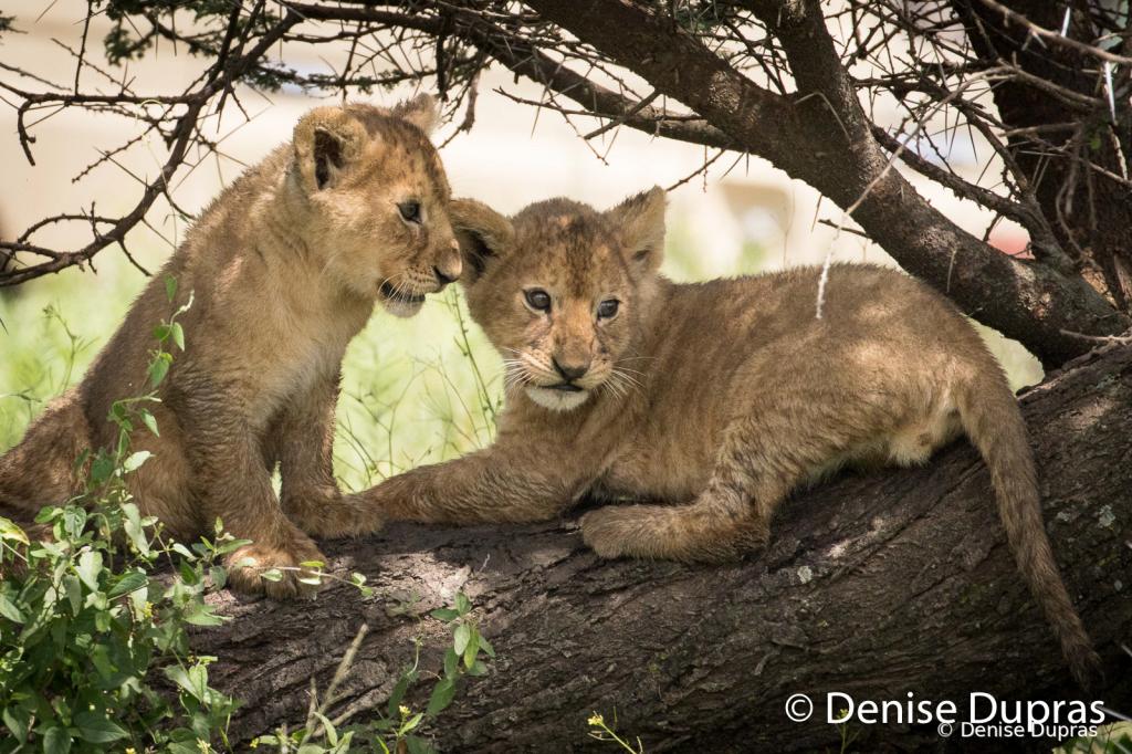 Lion7918