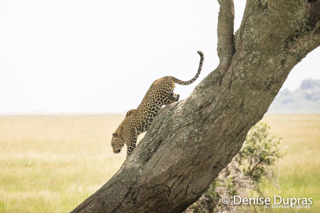 Leopard4853