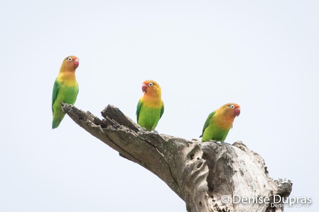 FischersLovebirds1581