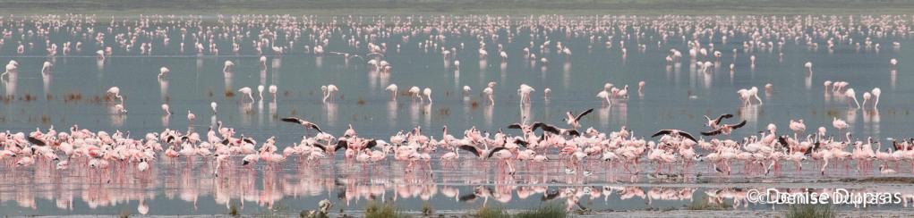 Flamingo4762