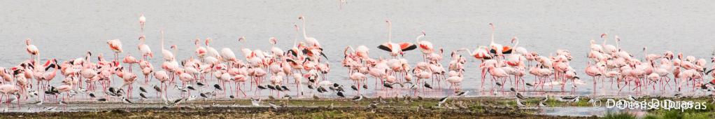 Flamingo4031