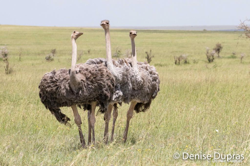 Ostrich5002