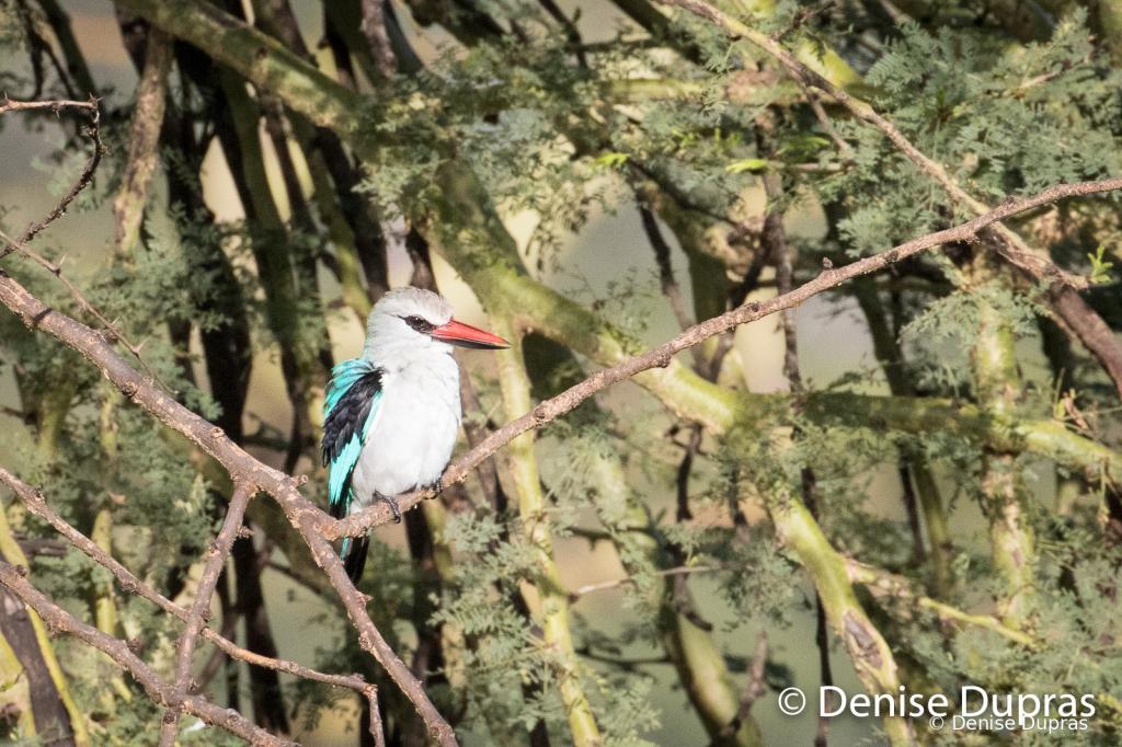 WoodlandKingfisher3714
