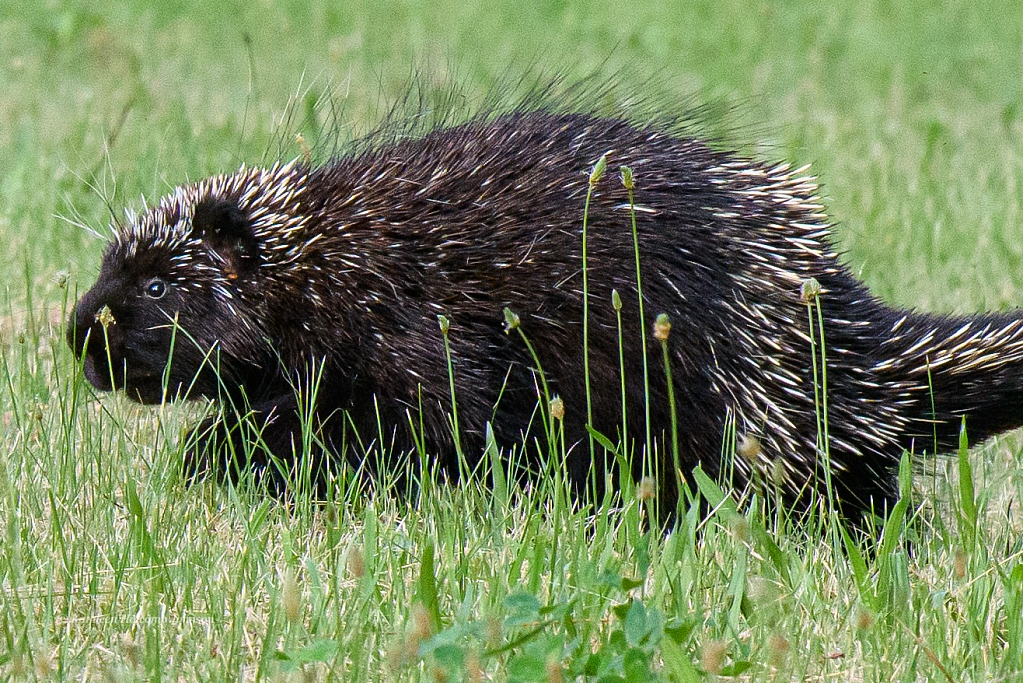 Yep! It's a Porcupine Visitor!