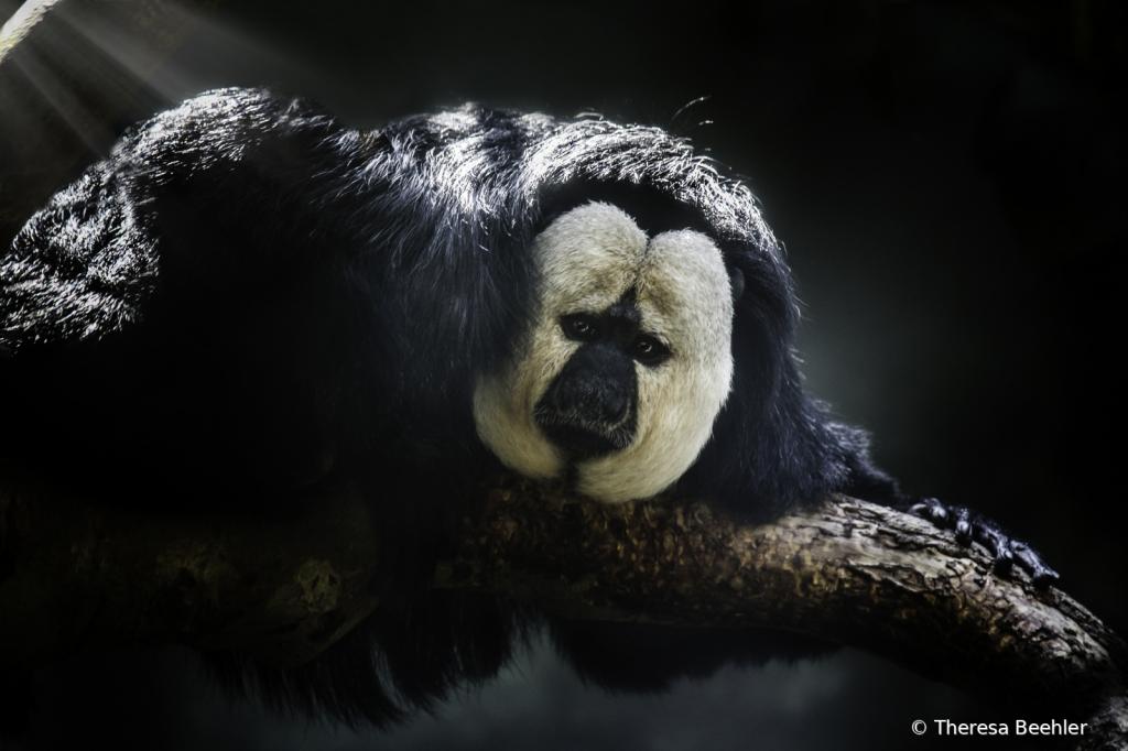 Animals - Saki Monkey