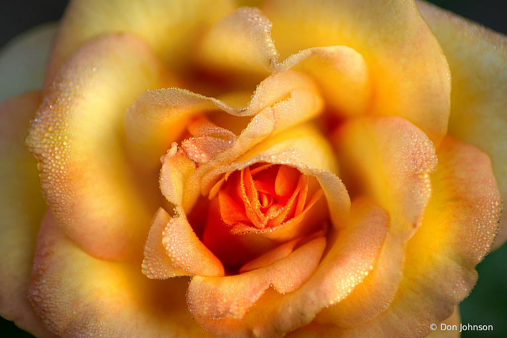 Rose with Dew 8-11-19 233