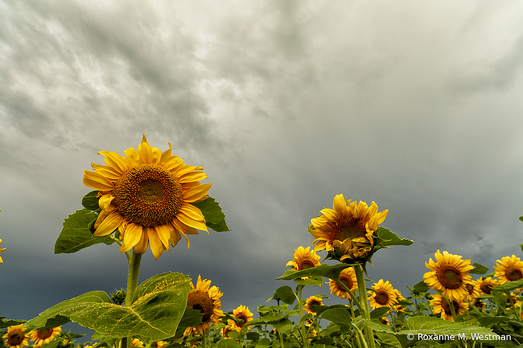 Sunny sunflowers and incoming storm