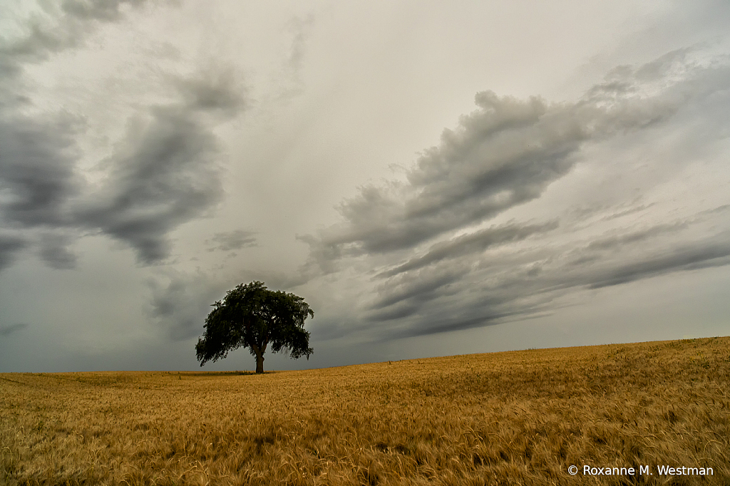 Lonely tree in wheat field