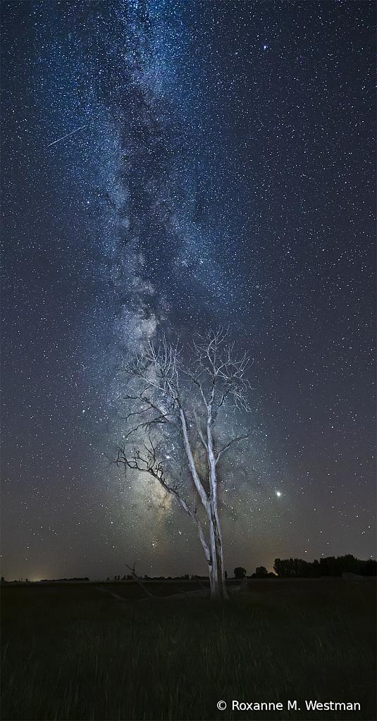 Milky Way and cottonwood tree