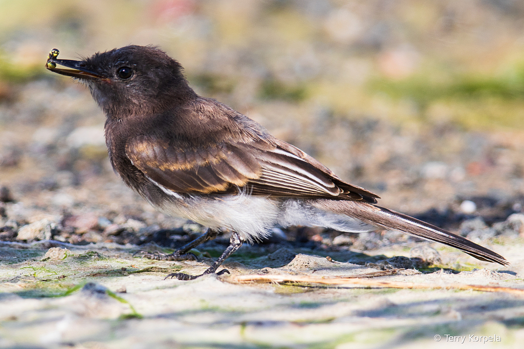 Black Phoebe with Yellow Jacket in its beak