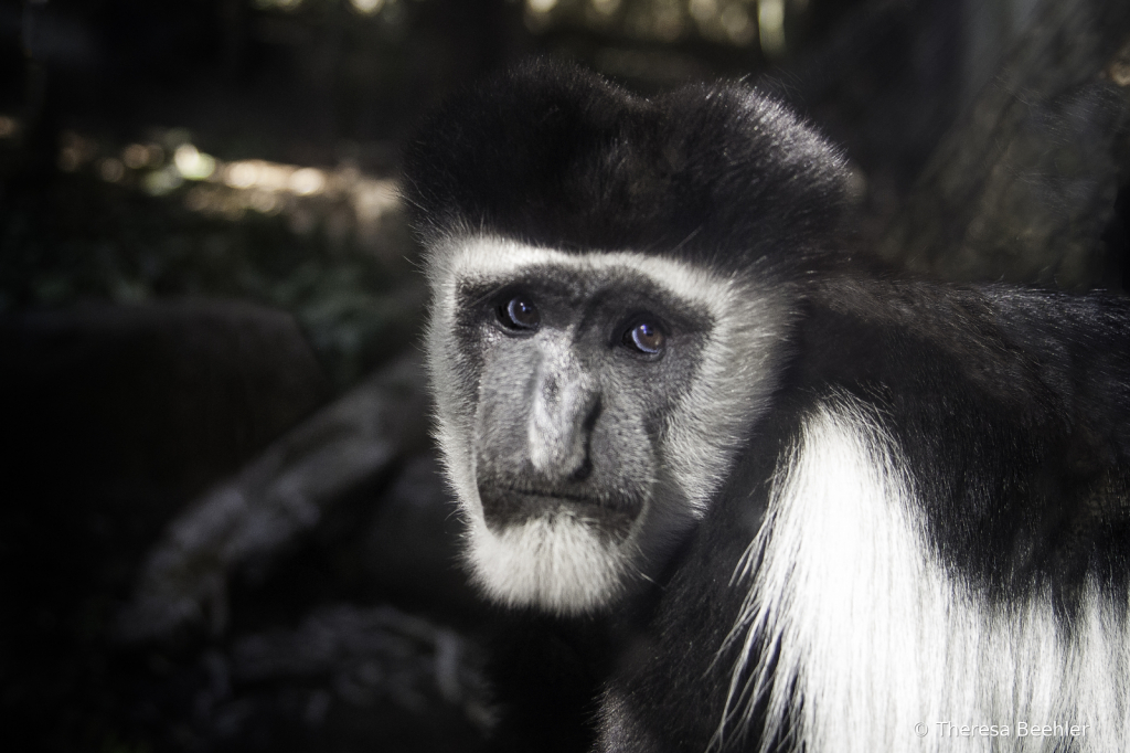 Animals - Colobus Monkey
