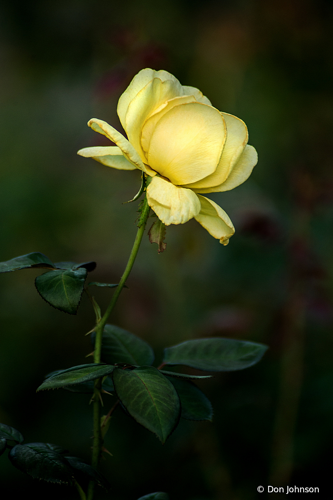 Profile of a Yellow Rose 8-11-19 133