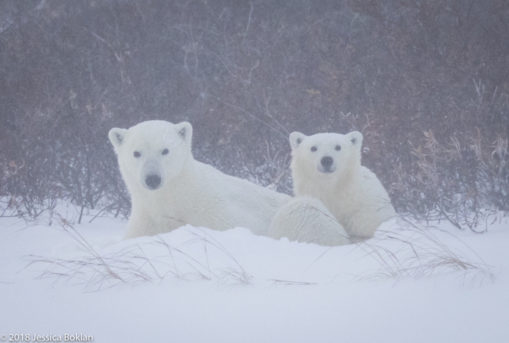 Polar Bear Mom and Cub Hunkered Down in Blizzard