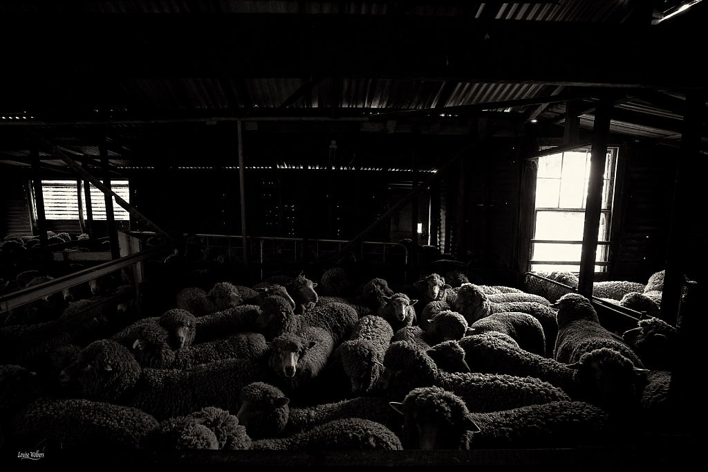 The Old Sheep Shed 1