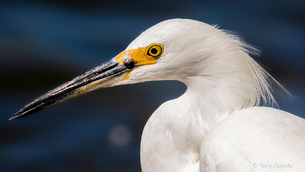 Snowy Egret Closeup