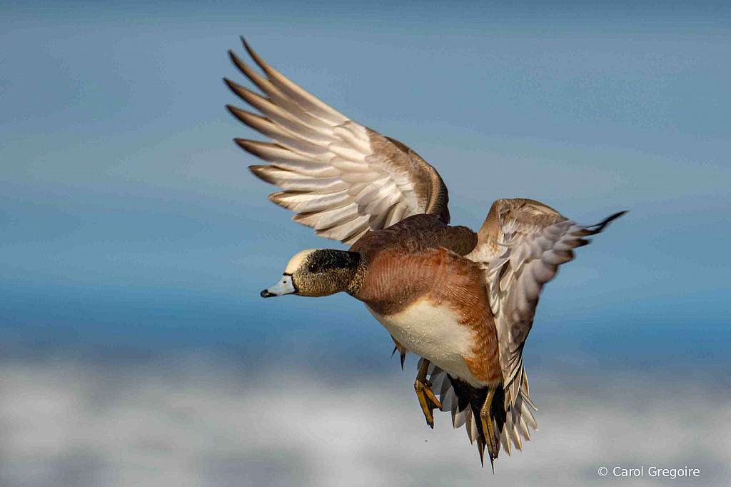 Widgeon Coming in for a Landing