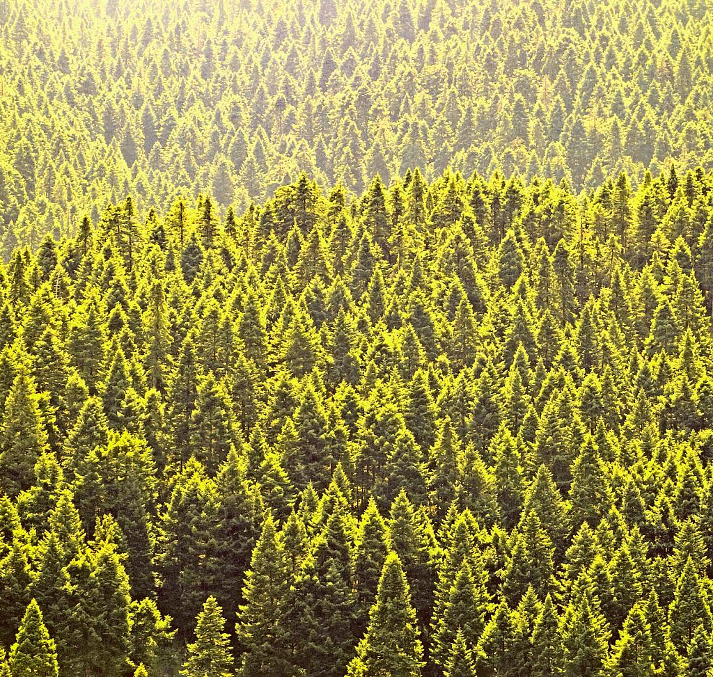Fir tree forest.