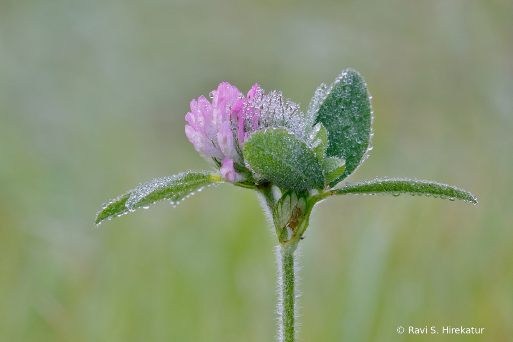 Dew Covered Red Clover