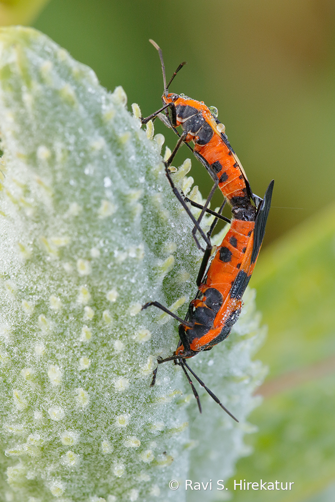 Mating Milkweed beetles