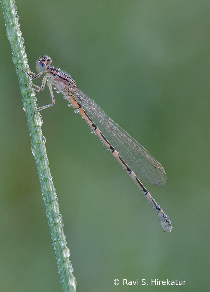 Damselfly covered with early morning dew