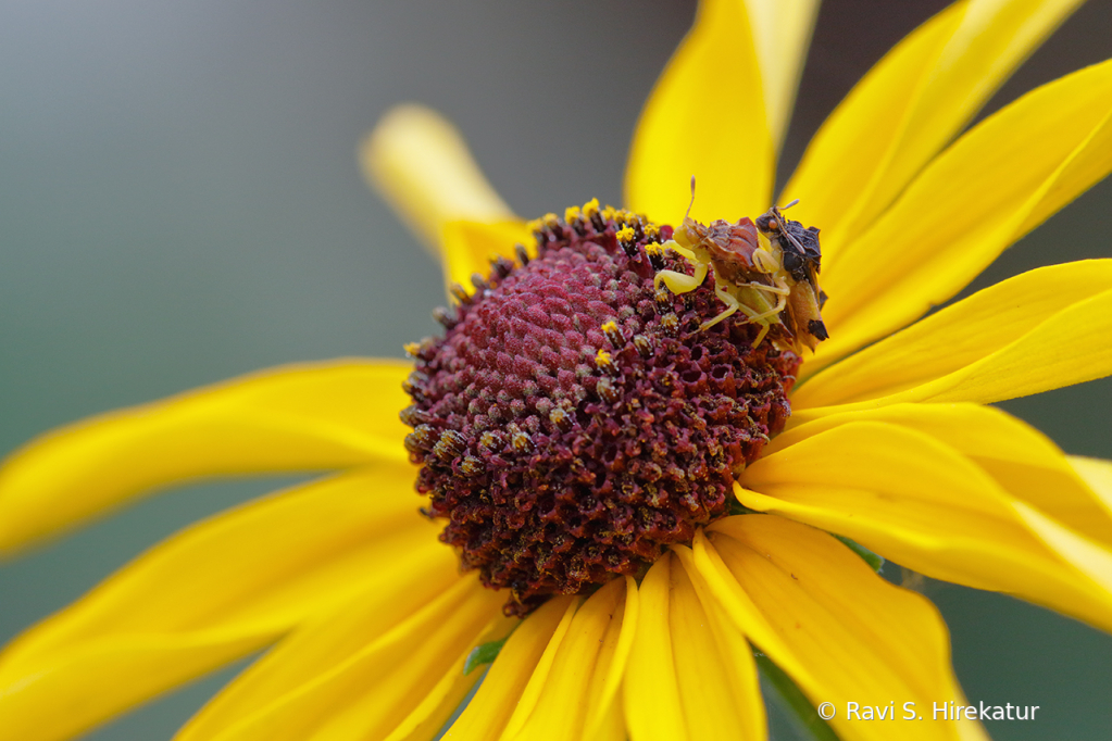 Mating Ambush bugs
