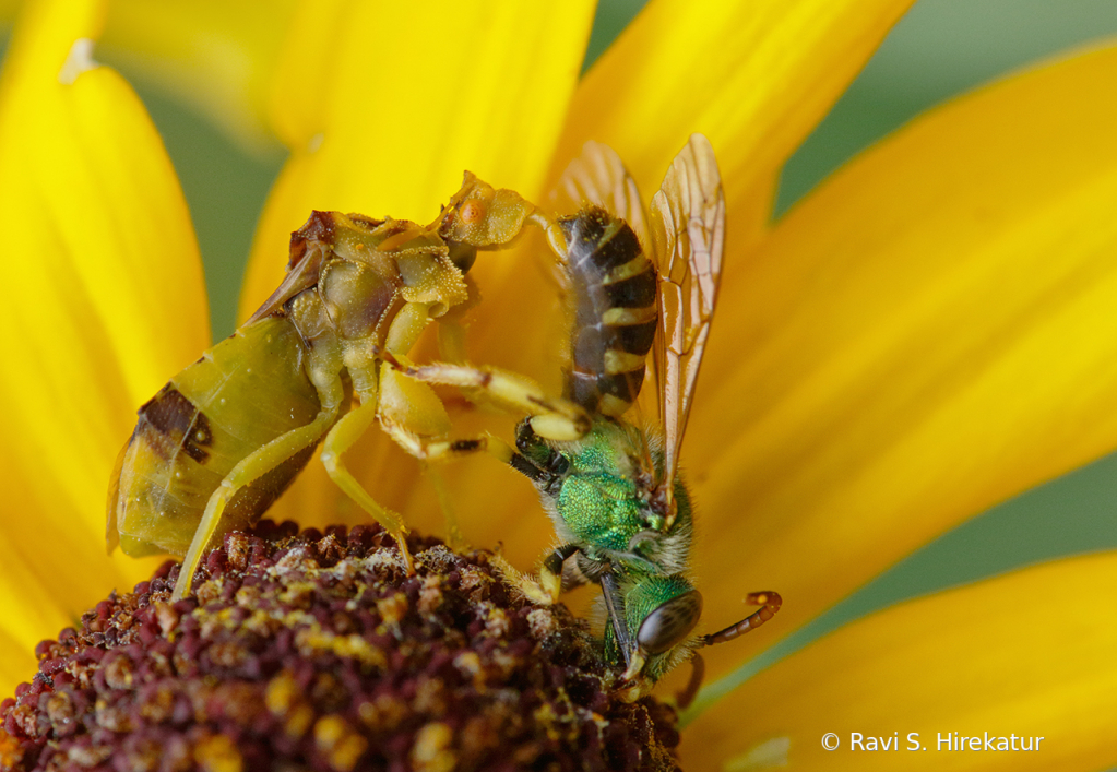 Ambush Bug with prey