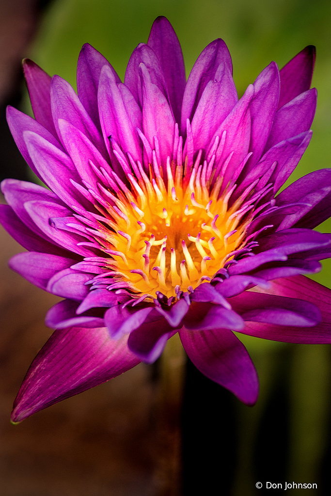 Another Purple Water Lily 9-11-19 157