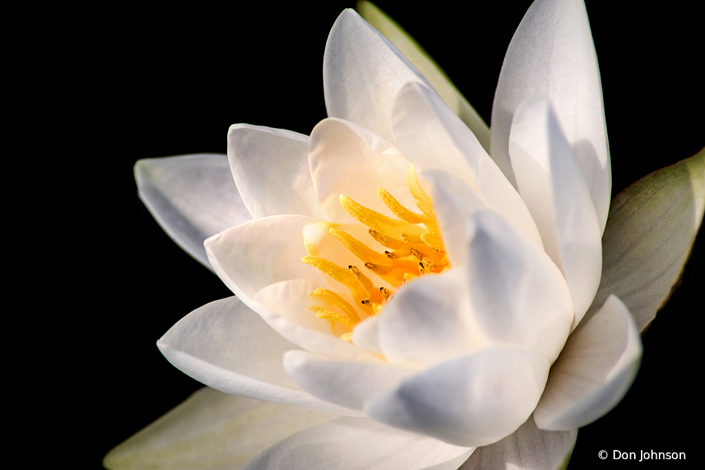 White LP Water Lily 9-11-19 097