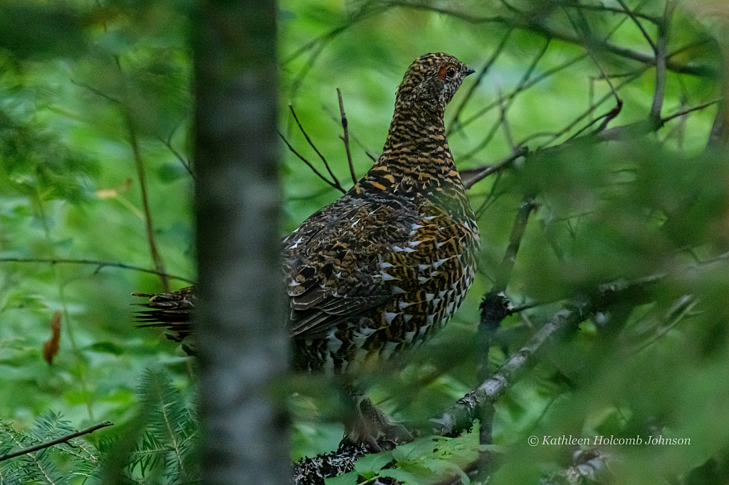 Grouse in the Trees!