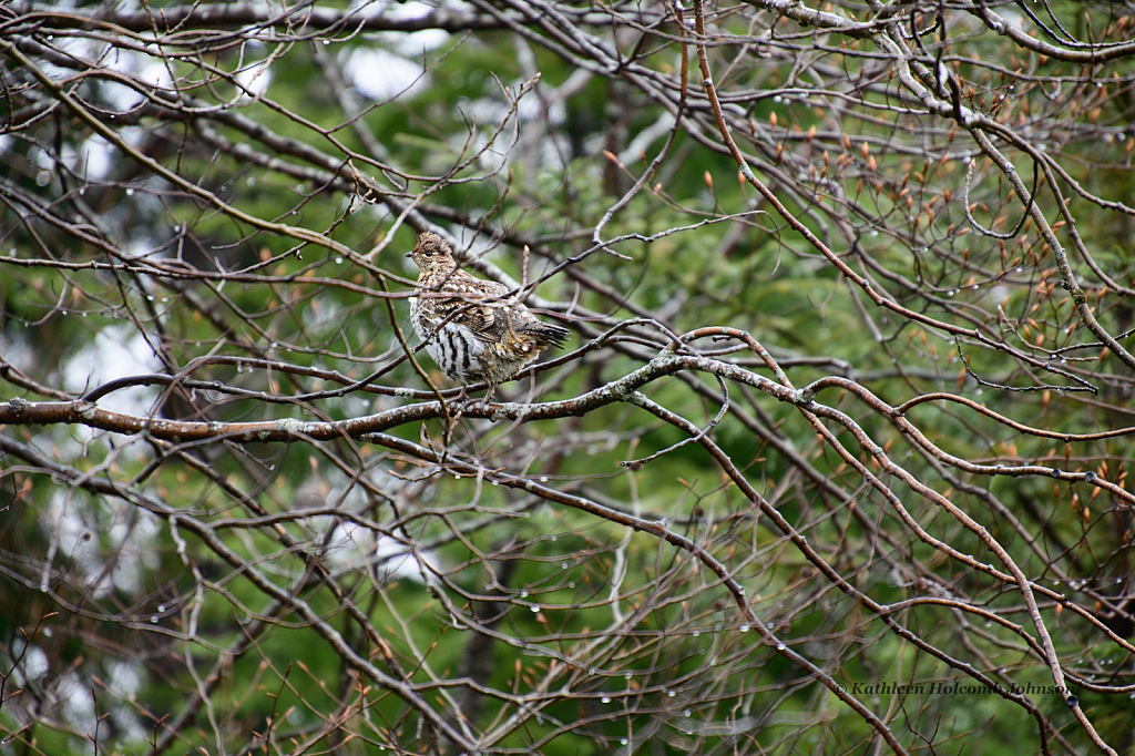 "Partridge ""Grouse"" in a Tree!"