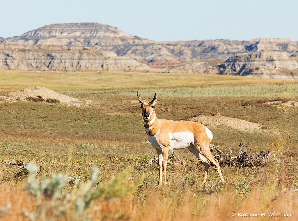 Antelope Western North Dakota