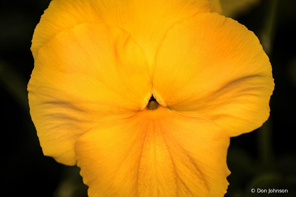 Yellow Pansie 10-4-19 127