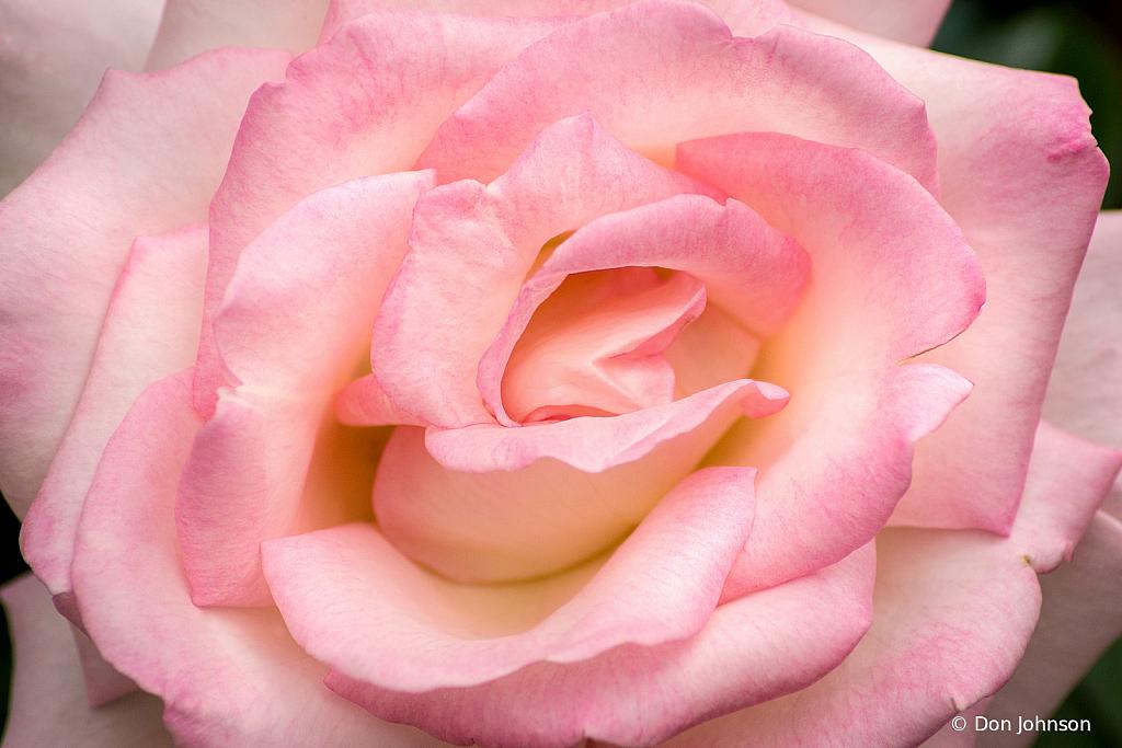 Rose-Pink 10-12-19 287